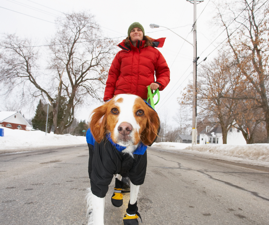 a dog with booties going for a walk