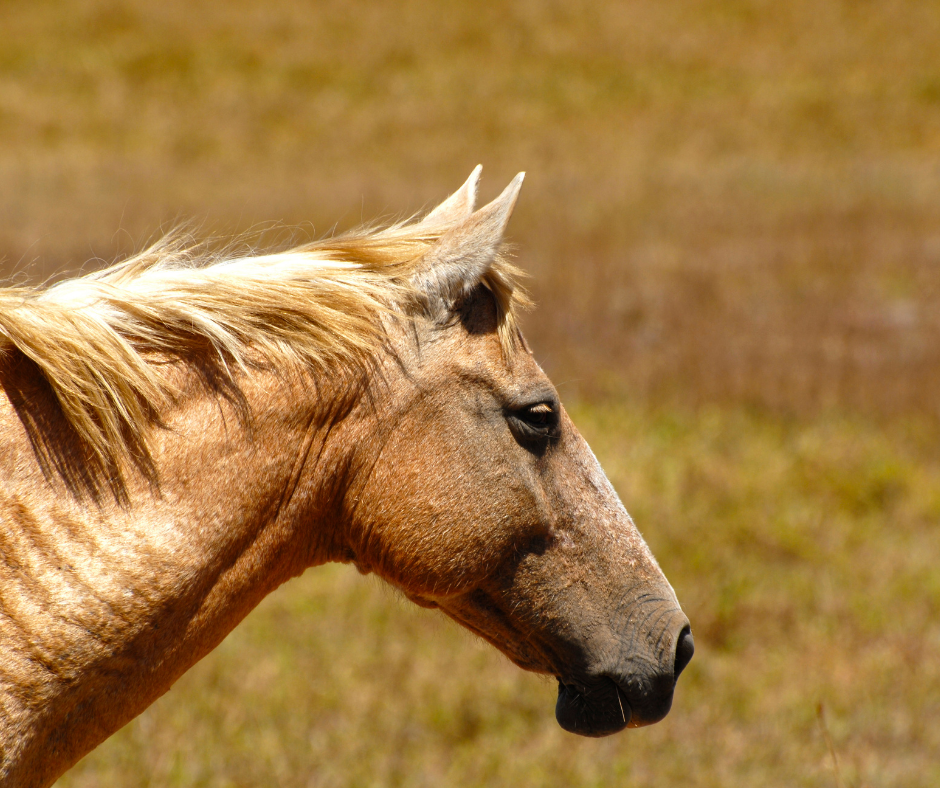 a palomino horse in a field