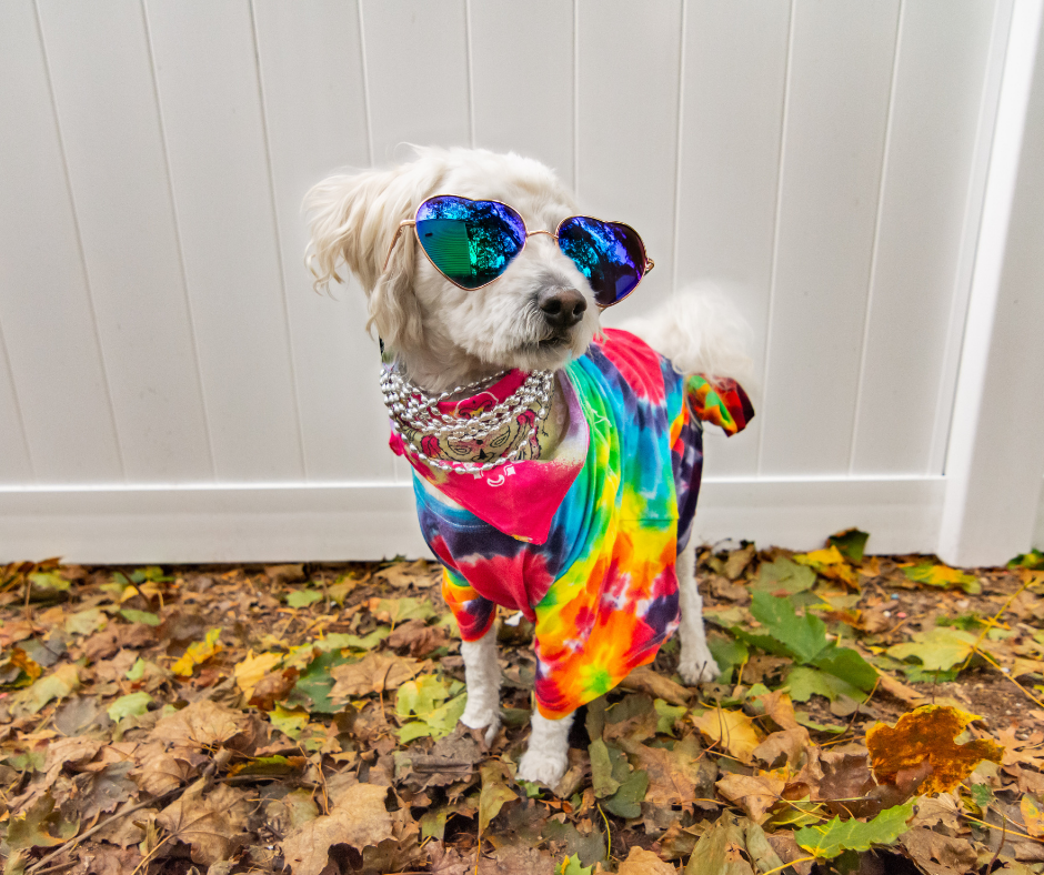 poodle dressed up as a hippie