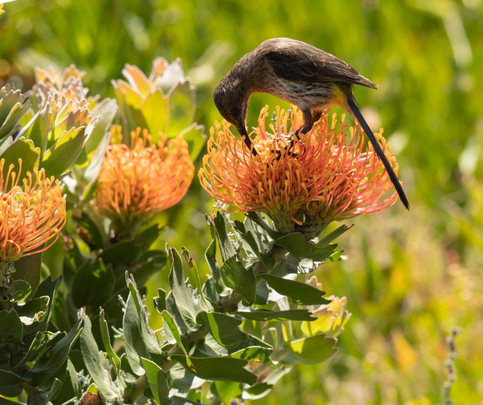 a sugar bird pollinating a flower