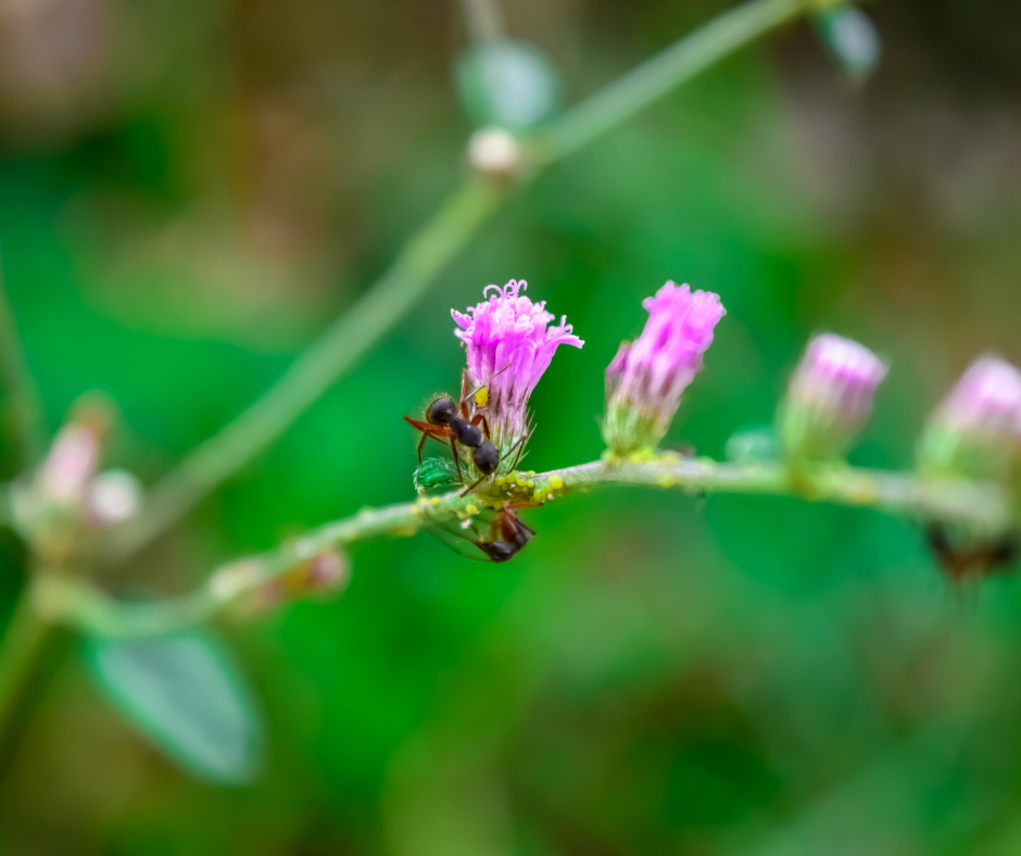 ants pollinating pink flowers