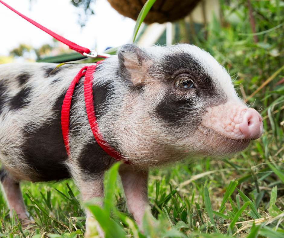 baby pig on a red leash