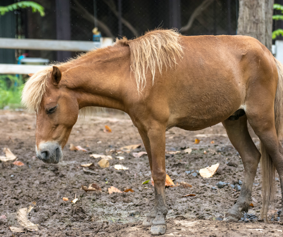 brown horse with sleeping sickness