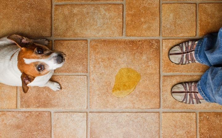 dog peed on floor