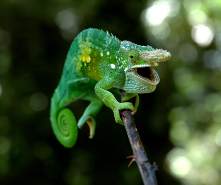 green horned chameleon laughing