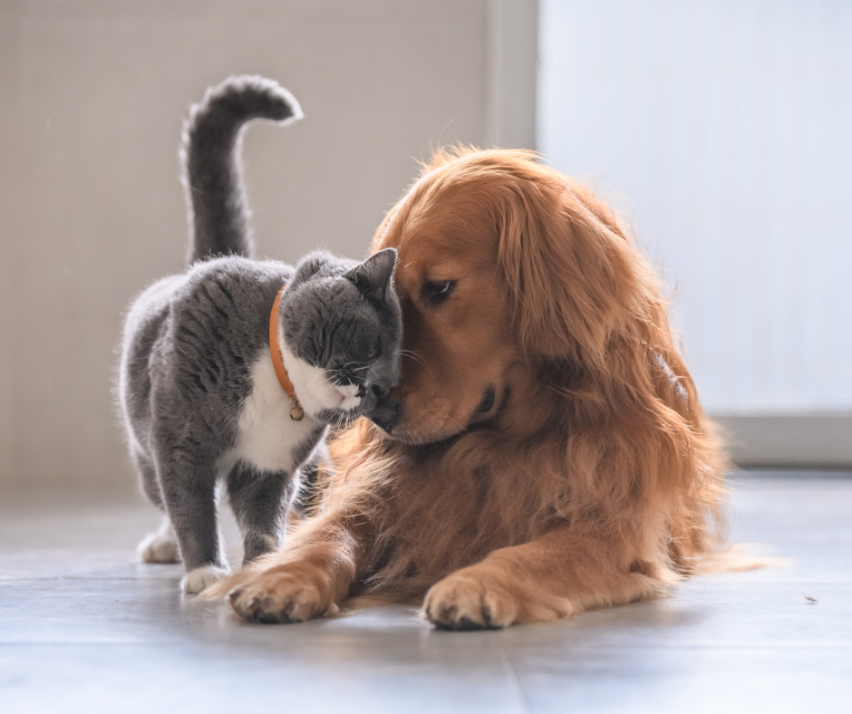 grey cat rubbing against labrador retriever puppy