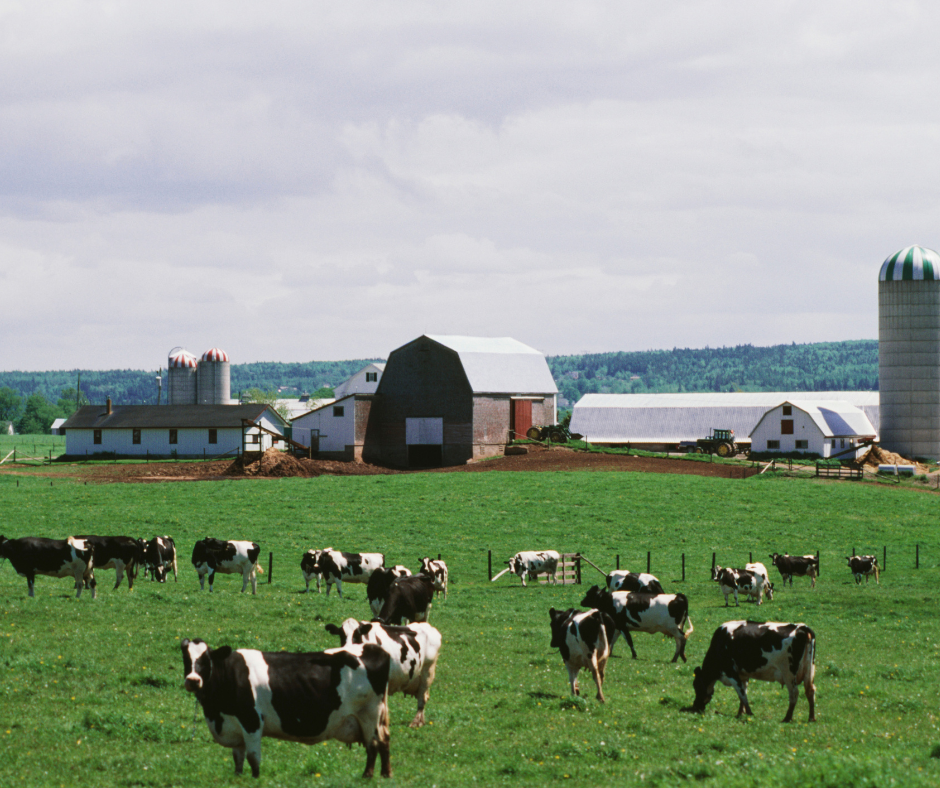herd of cows on a dairy farm