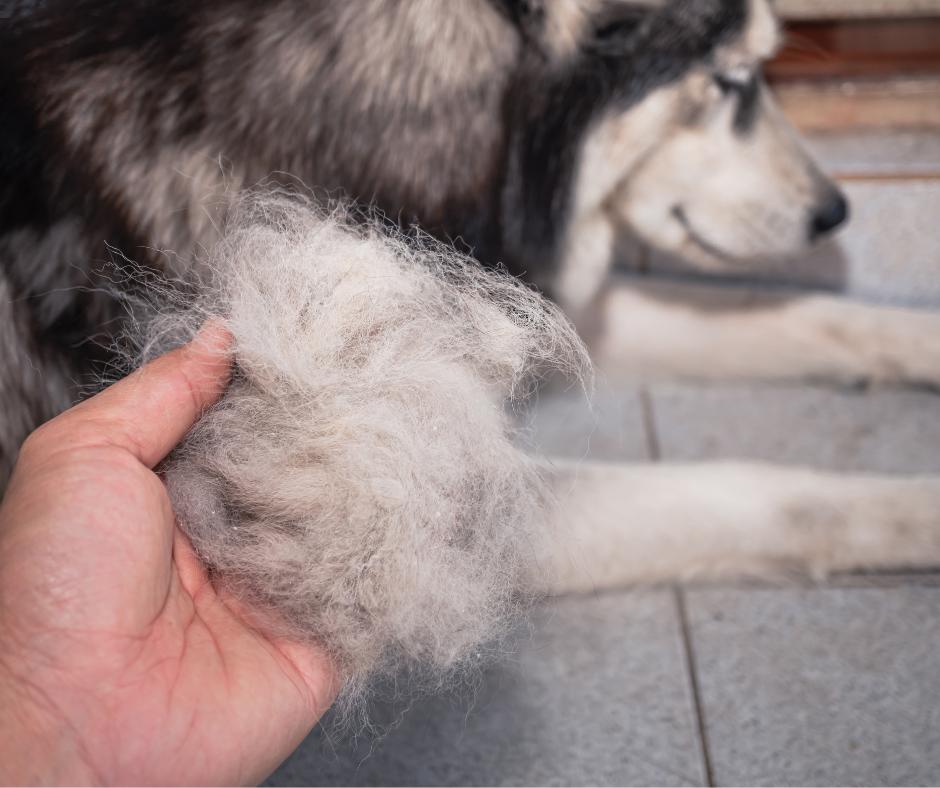 husky dog with hair loss