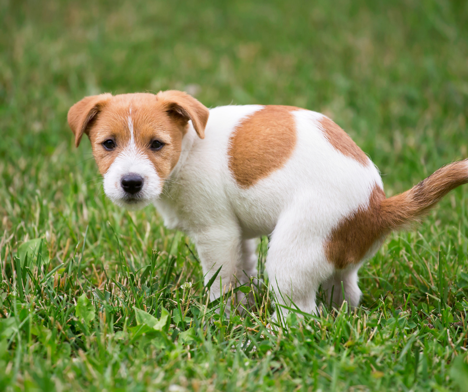 jack russell puppy pooping on grass