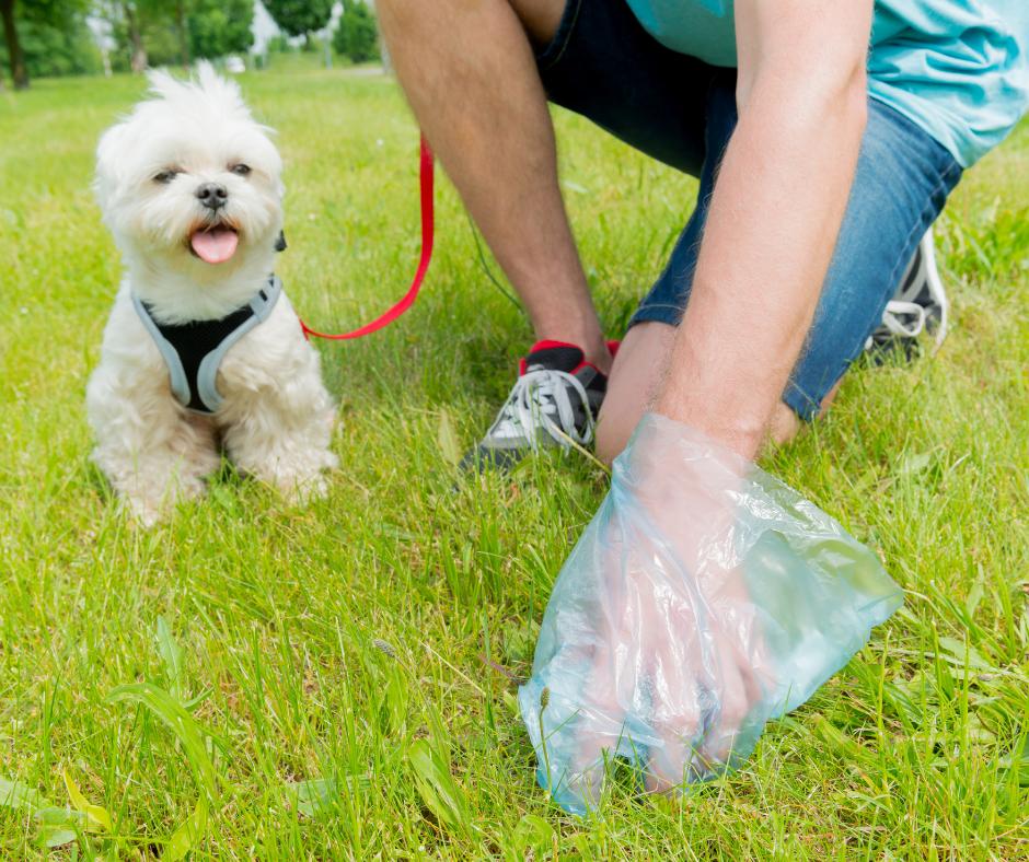 man with poodle picking up dog poo