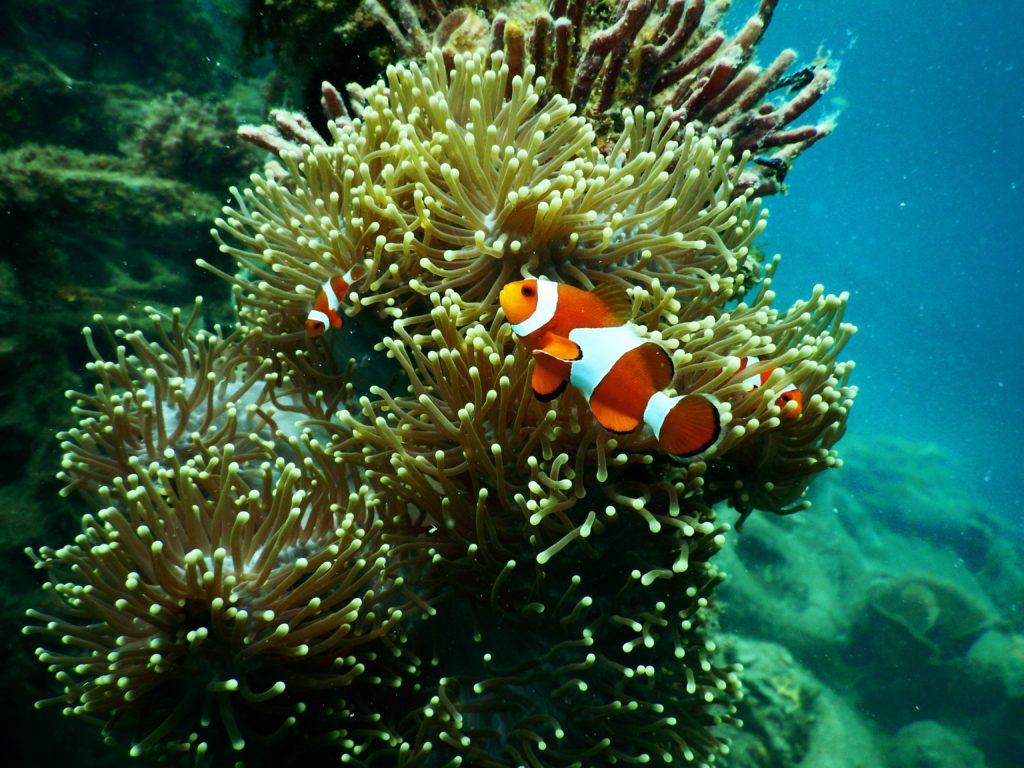 a clown fish exploring a coral reef