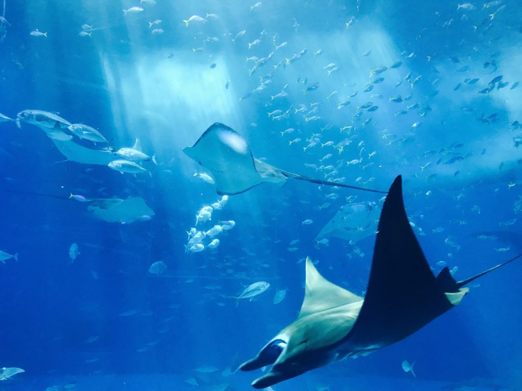 a group of manta rays swimming in a tank at the aquarium