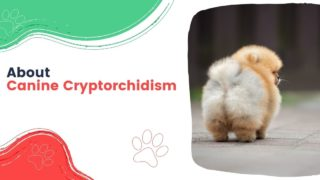About Canine Cryptorchidism - I Love Veterinary