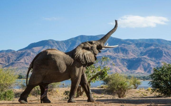 African elephant bull - I Love Veterianry