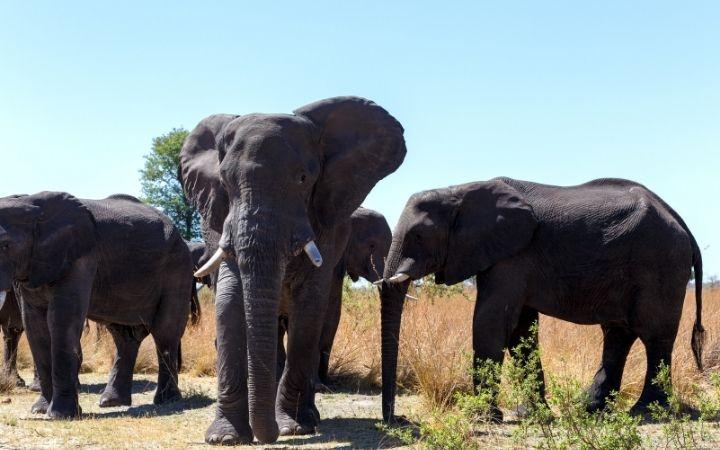 African elephant heard - I Love Veterinary