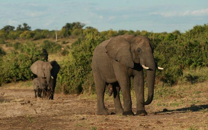 African elephants - I Love Veterinary