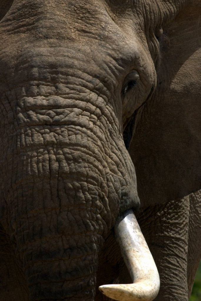 Close up of African elephant - I Love Veterinary