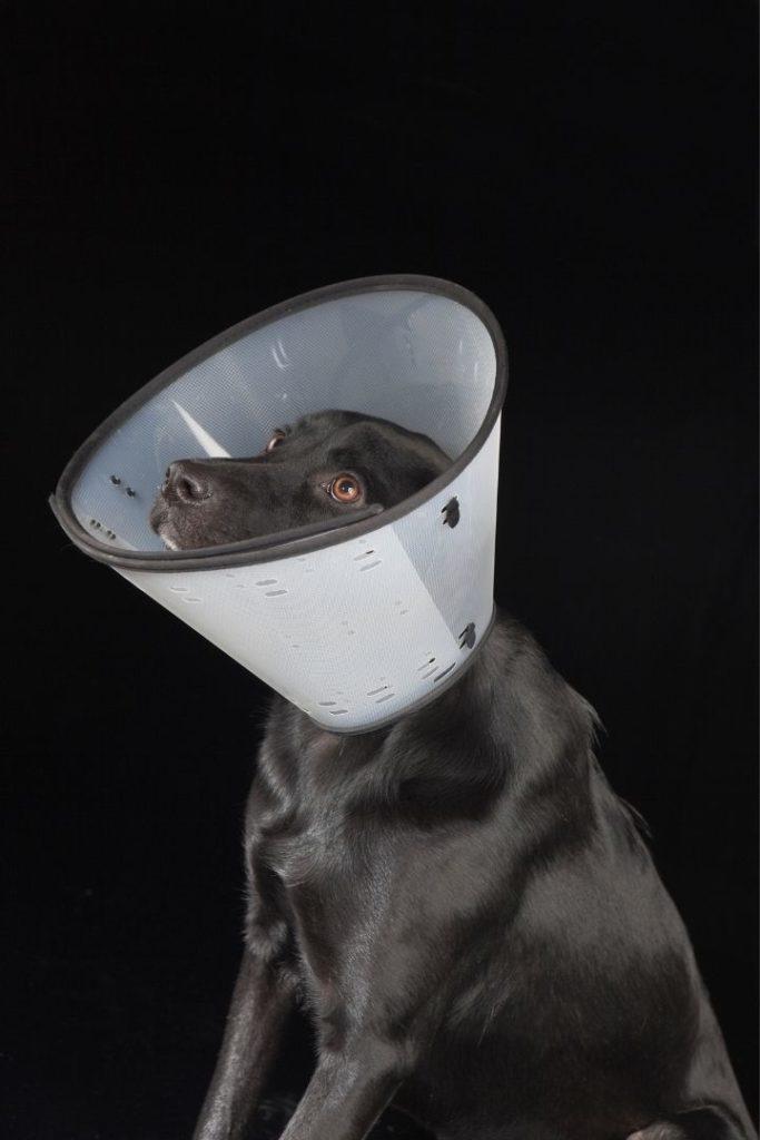 Black dog with Elizabethan collar - I Love Veterinary