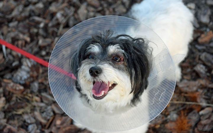 Havanese dog wearing Elizabethan collar - I Love Veterinary