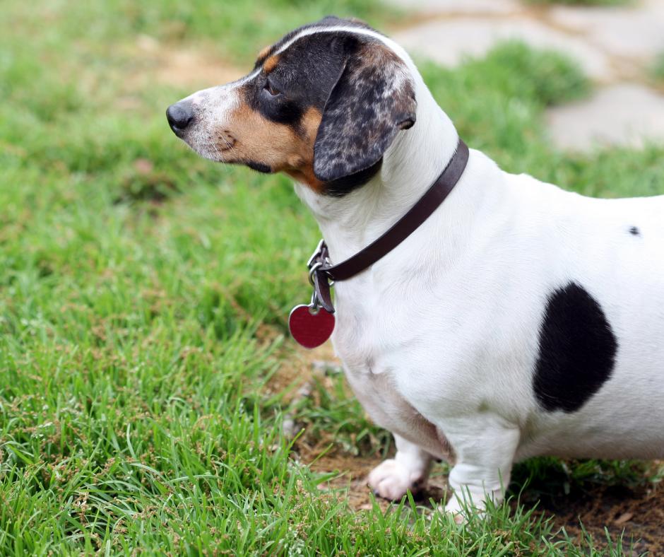 Overweight dachshund fox terrier cross