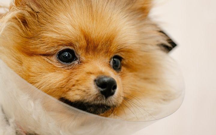 Pomeranian dog with Elizabethan collar - I Love Veterinary
