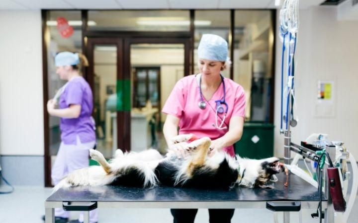 Vet preparing dog for surgery - I Love Veterinary