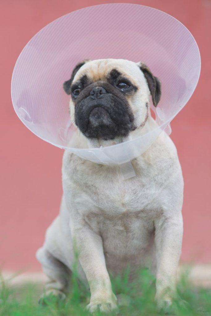 Pug with Elizabethan collar - I Love Veterinary