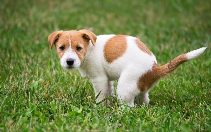 Puppy with diarrhea pooping - I Love Veterinary