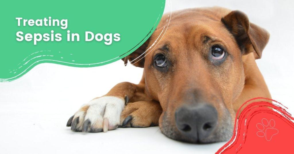 Sepsis in Dogs - I Love Veterinary