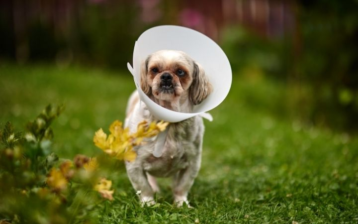 Shih Tzu with e-collar in recovery - I Love Veteirnary