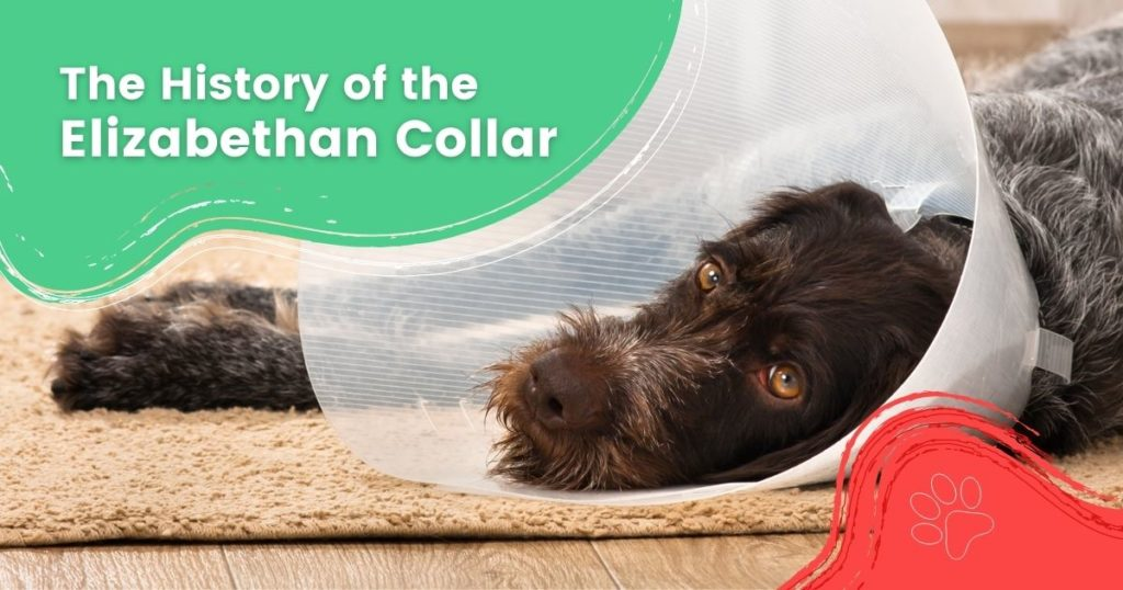 The History of the Elizabethan Collar - I Love Veterinary