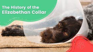 The History of the Elizabethan Collar - I Love Veterinary