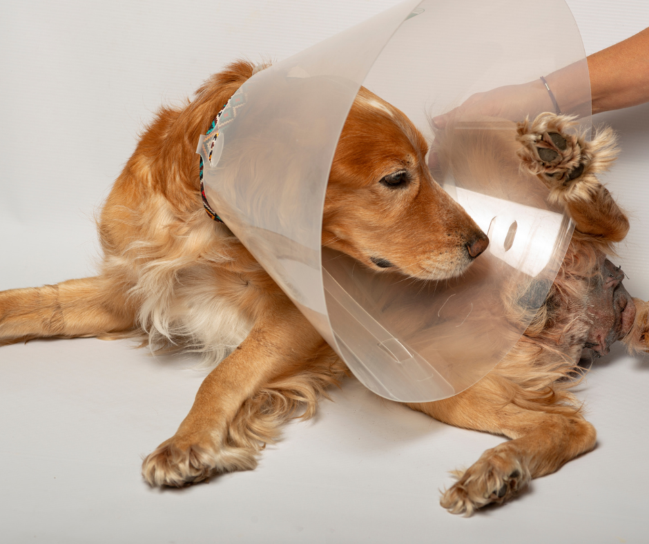cocker spaniel with the cone of shame