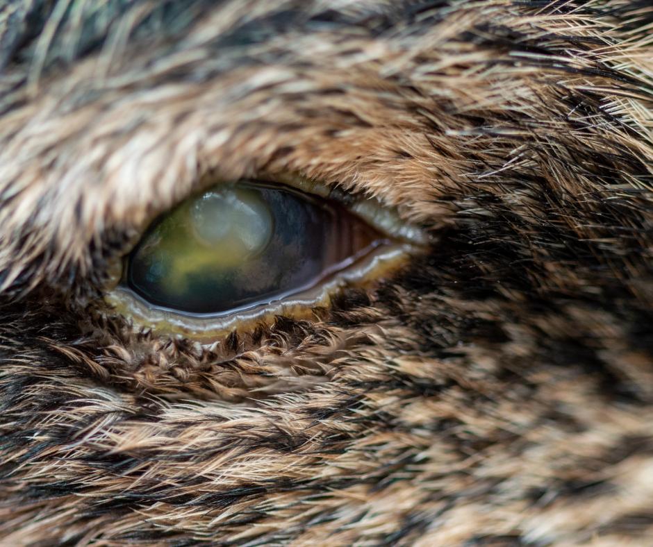 eye abscess on duck