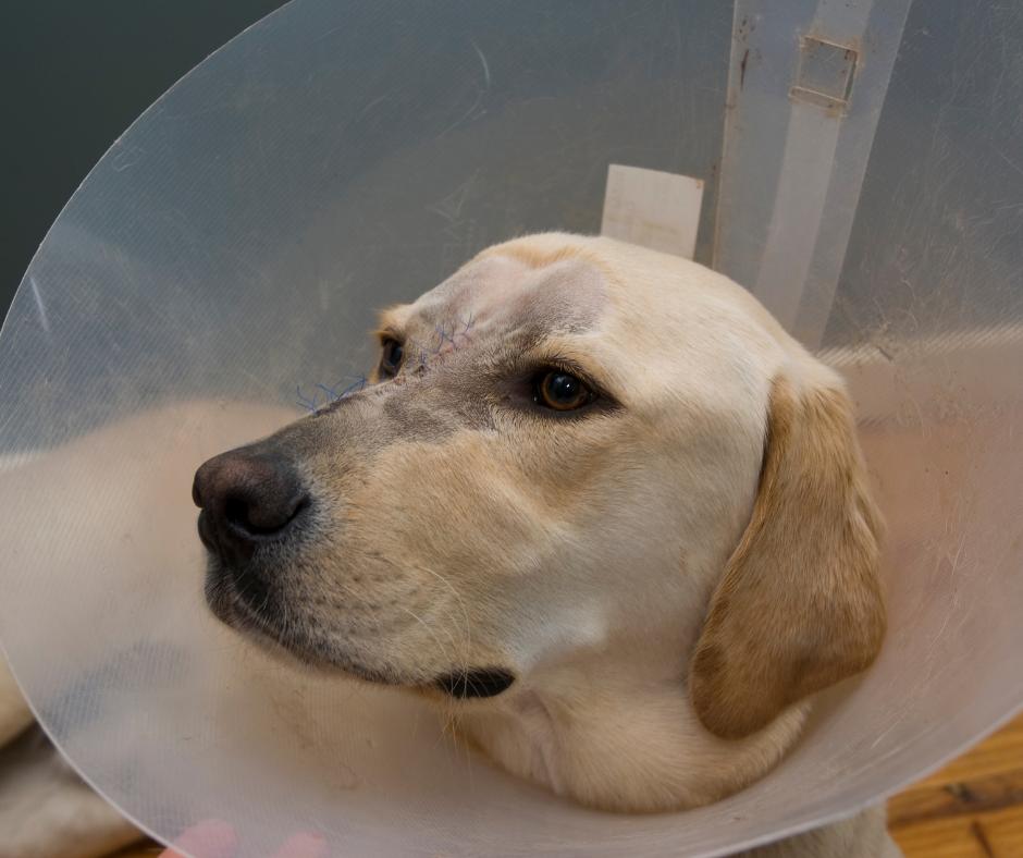 female labrador with elizabethan collar 1 I Love Veterinary - Blog for Veterinarians, Vet Techs, Students