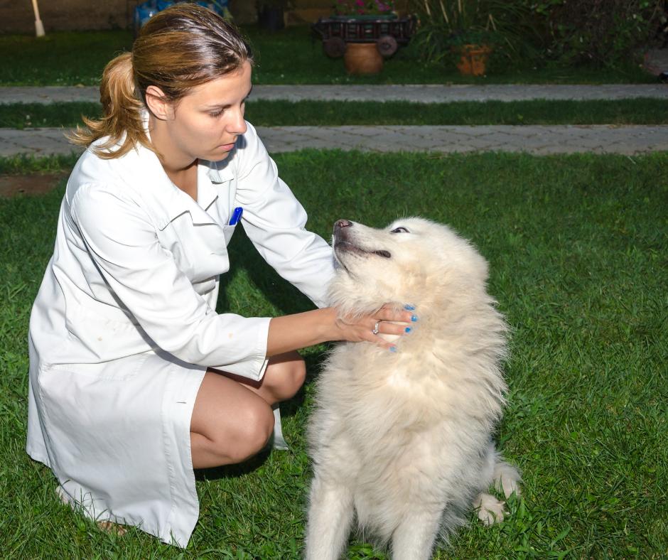 female veterinary technician examining a white dog