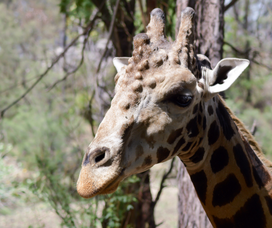 giraffe with abscesses on head