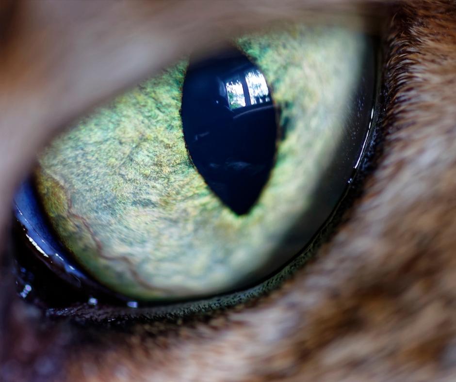 green eye of a brown cat 1 I Love Veterinary - Blog for Veterinarians, Vet Techs, Students