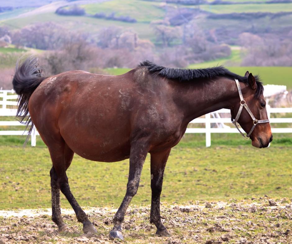 pregnant brown horse 1 I Love Veterinary - Blog for Veterinarians, Vet Techs, Students