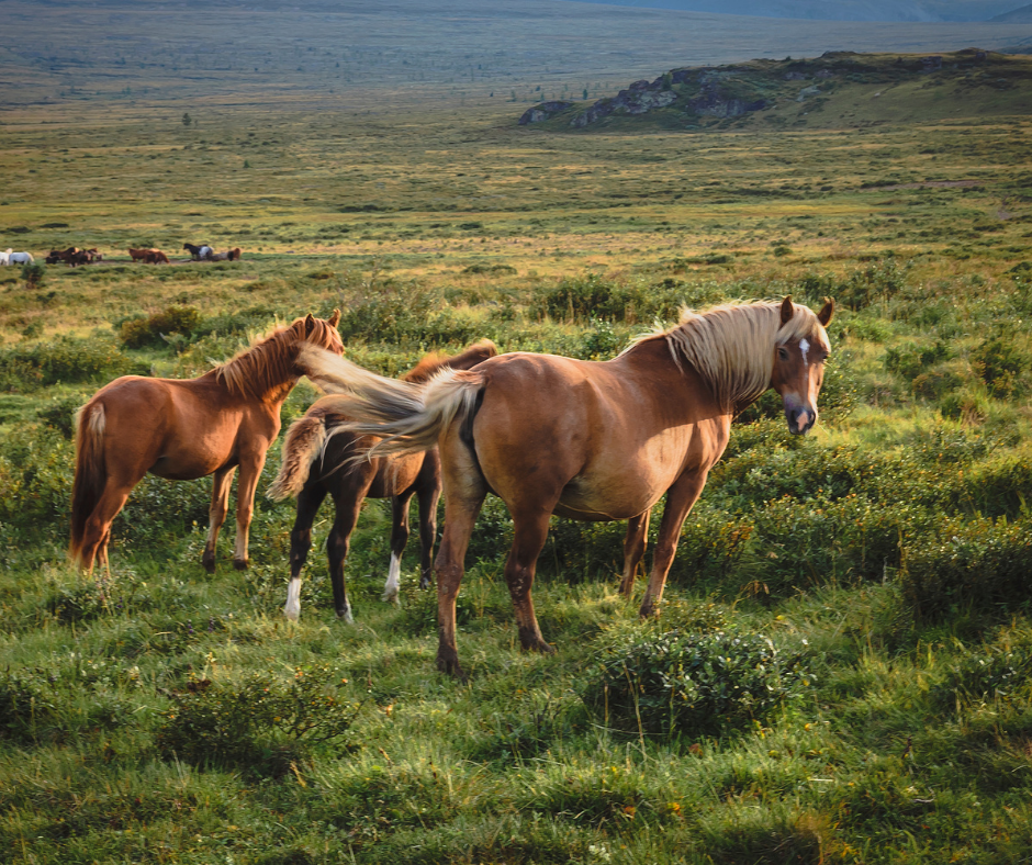 pregnant palomino grazing with two foals