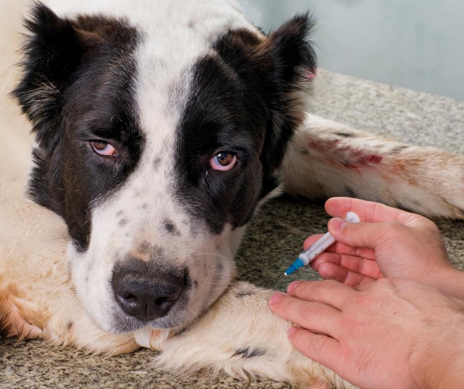 sick dog being euthanized