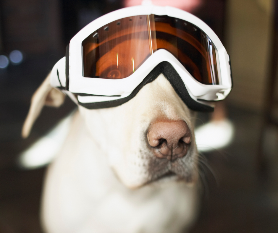 young white labrador with goggles