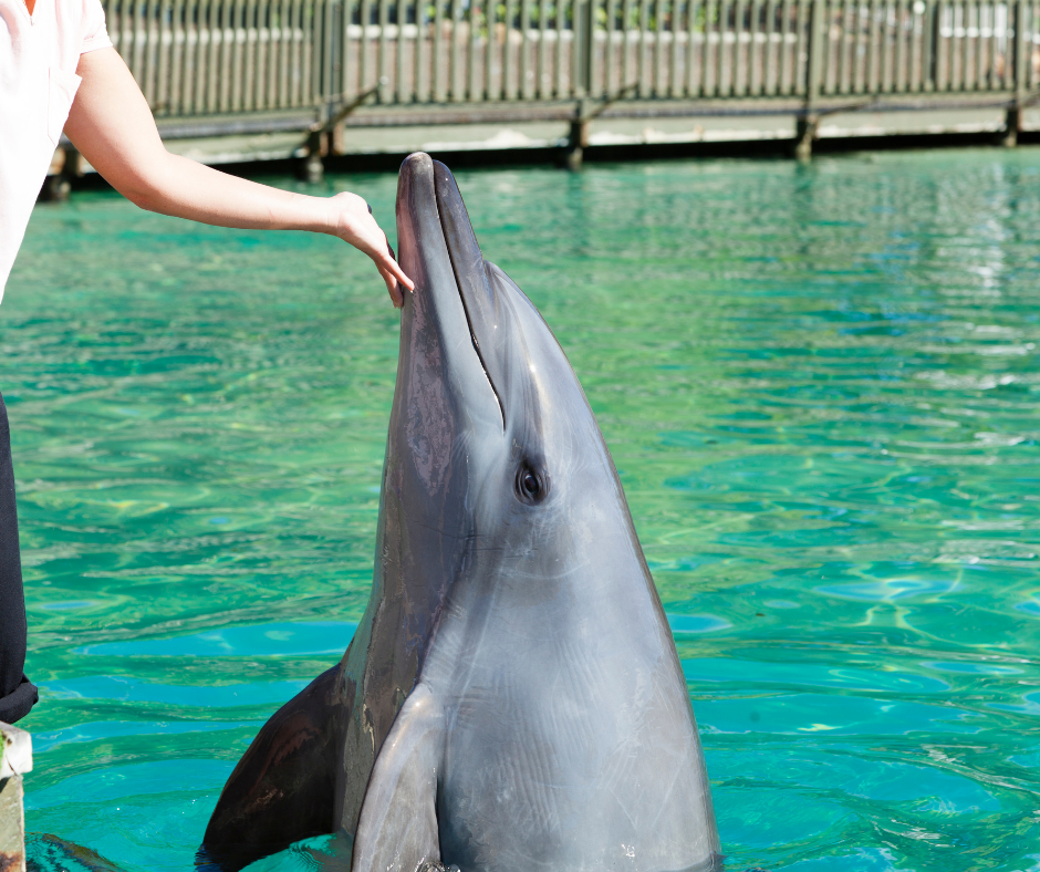 bottlenose dolphin being trained at aquarium