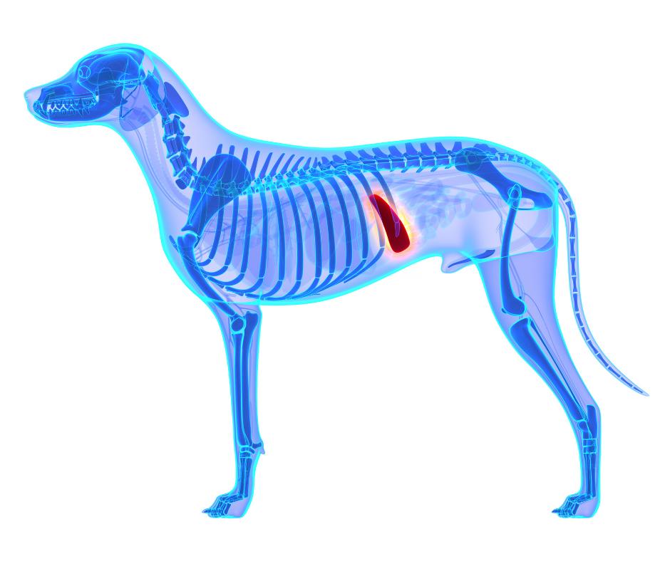 dog spleen location on xray
