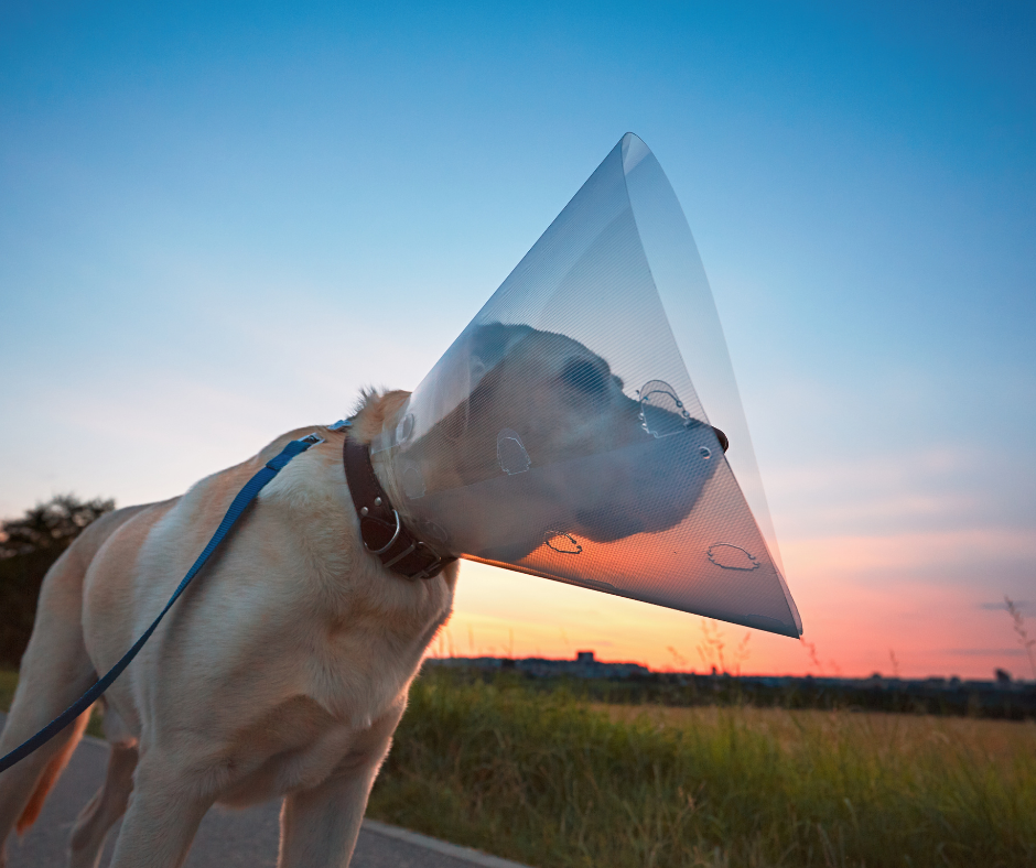dog with cone of shame