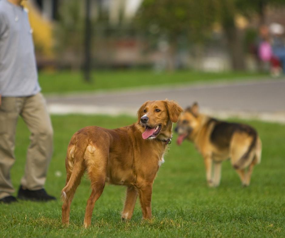 man training two dogs how to socialize
