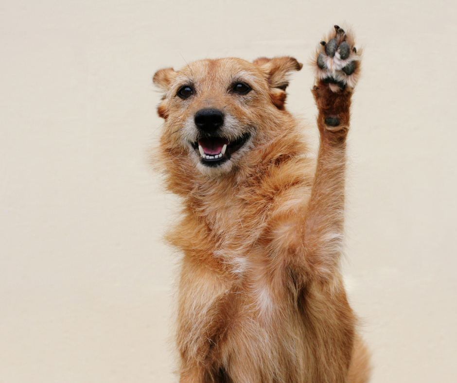 mixed breed dog doing a high five
