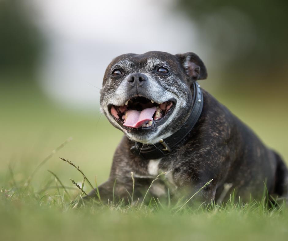senior canine 1 I Love Veterinary - Blog for Veterinarians, Vet Techs, Students