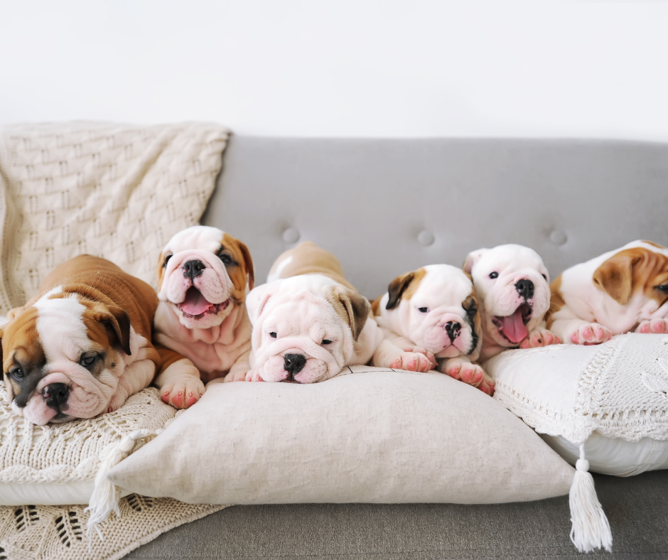 six bulldog puppies on a couch