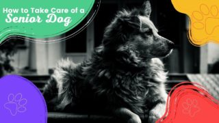 How to Take Care of a senior dog